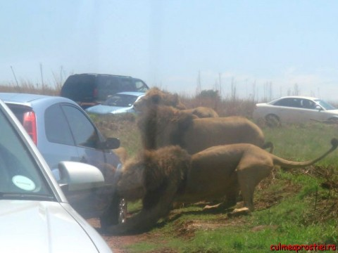 La plimbare cu leii