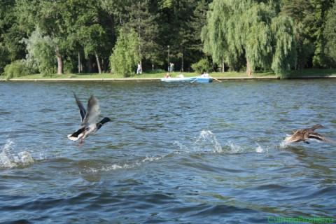 Ratele pe lac